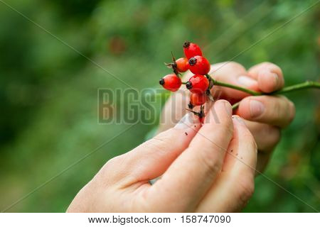 Dogrose. Closeup view of wet rosehip's bunch and man's hands over green leaves. Autumn forest berry after rain, soft focus, image toned.