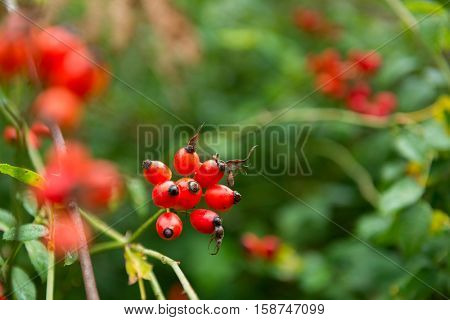 Dogrose. Closeup view of wet rosehip's bunch over green leaves. Autumn forest berry after rain, soft focus.