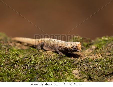 Tiny Chameleon Brookesia Micra (brookesia Minima)