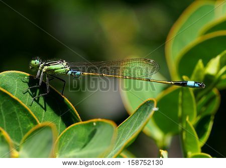 Green and turquoise damselfly resting on plant