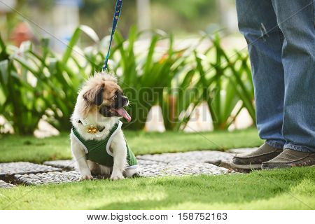Portrail of adorable dog in overall sitting outdoors
