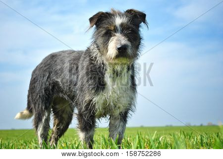 Stray dirty dog alone in the field
