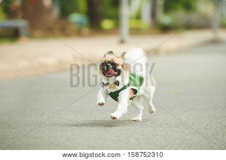 Joyful adorable dog in overall running outdoors