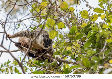 Common Brown Lemur In Top Of Tree