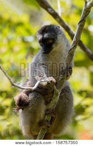 Common Brown Lemur With Baby On Back
