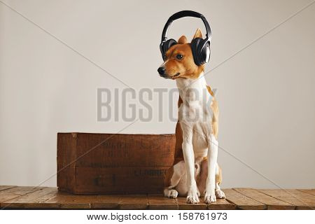 Basenji dog wearing large black and silver headset sniffing air sitting next to a wooden wine crate in a studio