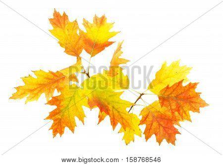 autumn leaves herbarium on a white background
