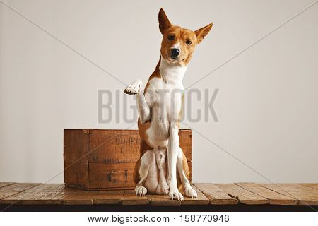 Beautiful white and brown dog sitting next to an old wine crate gives paw looking straight into camera