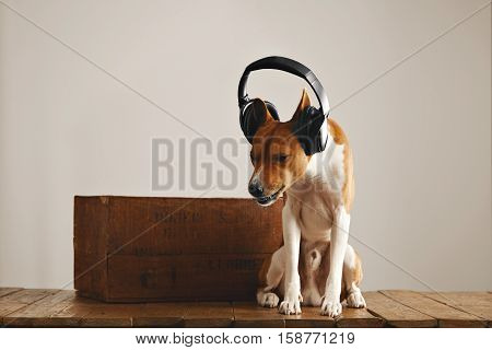 Dog rocking its head trying to take off large black headphones in a studio with white walls