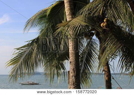Coconut palm trees. Port Barton, Palawan Philippines