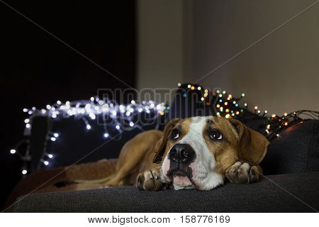 Dog on couch in cozy room with christmas tree set looking up. Puppy lies comfortably on a sofa in a living room decorated with christmas garlands