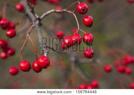 Hawthorn berries are ripe in late autumn