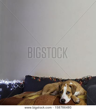 Dog on couch in cozy room with christmas tree set and white wall. Puppy lies comfortably on a sofa in a living room decorated with christmas garlands