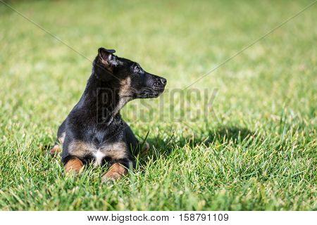 Belgian shepherd puppy on green lawn