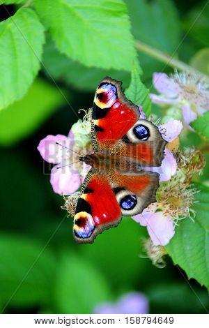 Beautiful peacock butterfly is sitting on a flower