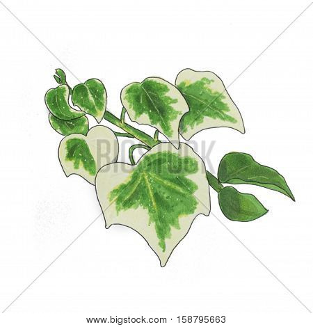 Bicolor ivy Hand drawn sketch isolated on white
