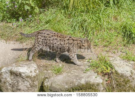 picture of  a sunny scenery including a fishing cat