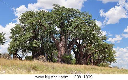 Famous Baines baobabs in Nxai pan in Botswana