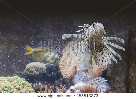 picture of a lionfish in underwater ambiance