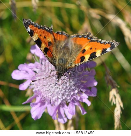 Small Tortoiseshell butterfly siting on violet flower,Slovakia