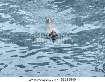 Swimming Common Otter
