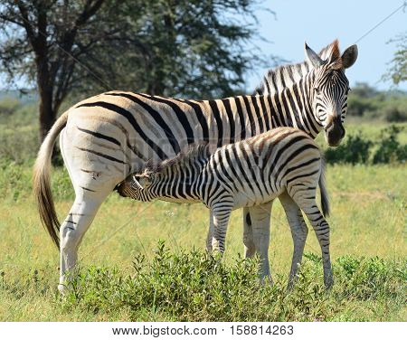 baby zebra at breast-feeding in Namibia nature reserve,Africa