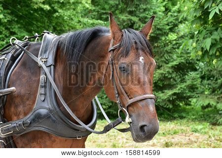 Head of a bay carriage horse against green tree