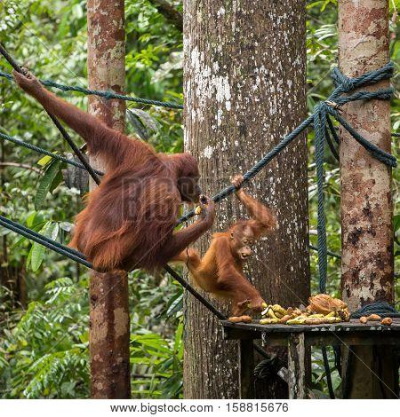 Female orangutan with a baby on the feeding platform in Semenggoh Nature Reserve, Sarawak, Borneo, Malaysia
