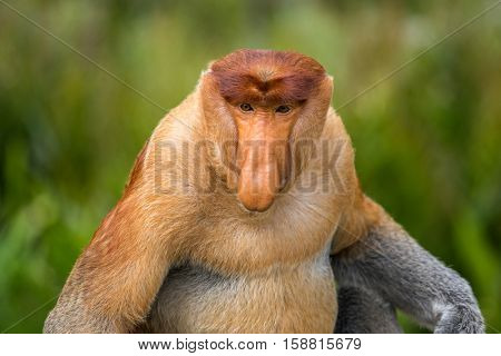 Proboscis Monkey (Nasalis larvatus) endemic of Borneo.  Male portrait with a huge nose.