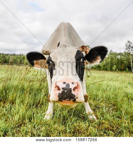 The portrait of cow on the background of field. Beautiful funny cow on cow farm. Young black and white calf staring at the camera. Curious amusing cow with funny big snout and natural background