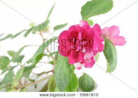 Blossom Flower (balsaminaceae)