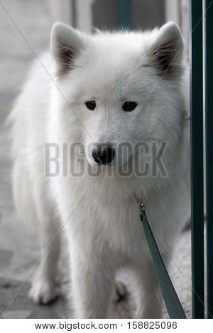 Animal portrait of bound white dog on the street.