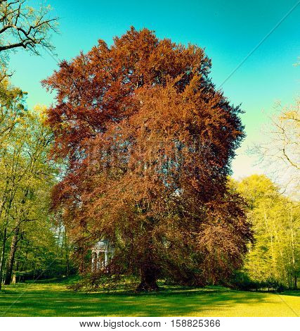 Acer rubrum in park. Toned photo