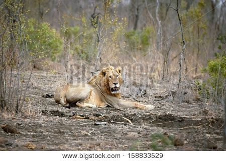 A lone male lion looks towards the camera, in Kruger National Park, South Africa. The lion is one of the big 5 game animals. This example is quite old and battle-scarred.