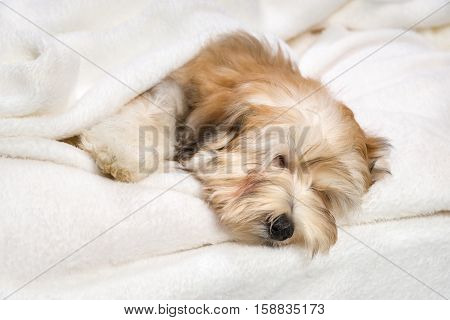 Cute sleeping reddish Bichon Havanese puppy dog in the bed on white bedspread