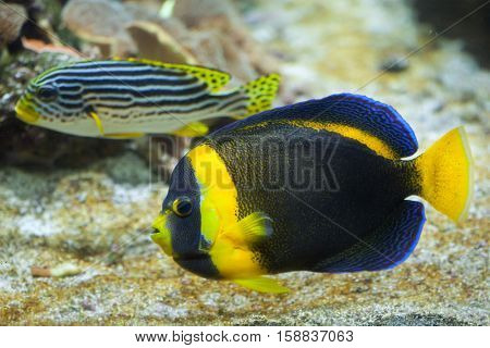 Scribbled angelfish (Chaetodontoplus duboulayi), also known as the Duboulay's angelfish.