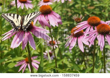 A Yellowtail Butterfly on Purple Cone Flowers