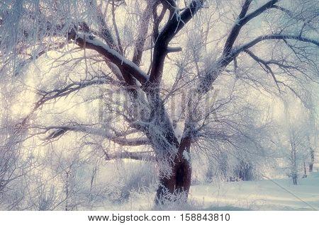 Winter landscape - spreading winter tree in sunset. Winter scene - wonderland tree in cold winter weather in winter forest. Winter forest in the sunset. Winter landscape with snow covered winter tree