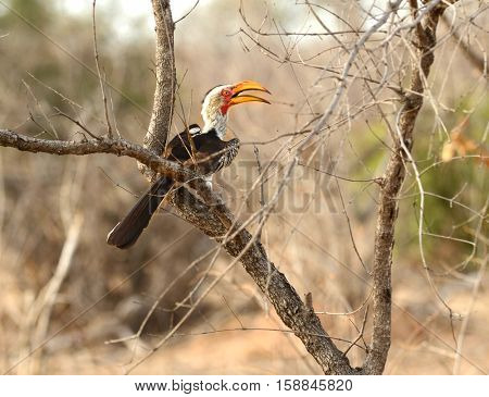Southern Yellow Billed Hornbill found in a tree in Kruger National Park in South Africa