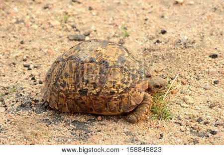 Leopard Tortoise found the the Kruger National Park in South Africa