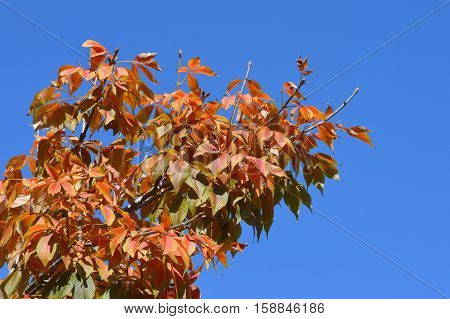 Red leaves of the tree against the blue sky