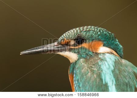 Profile of a Kingfisher bird with turquoise feathers