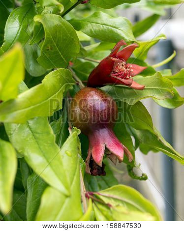 Pomegranate tree, flowers and fruit on branch