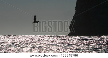 Pelican flying over Sea of Cortes toward Los Arcos at Lands End in Cabo San Lucas Baja Mexico BCS