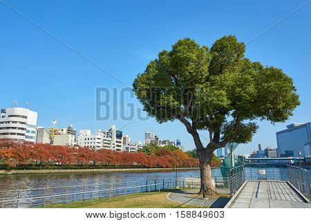 A big tree in in the city, under beautiful clear sky. Picture of a tree in public park in autumn.