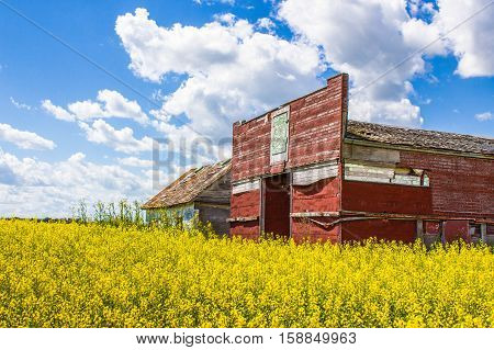 horizontal image of an old rustic abandoned store now surrounded by a yellow canola field under a beautiful blue sky with white clouds floating by in the summertime.