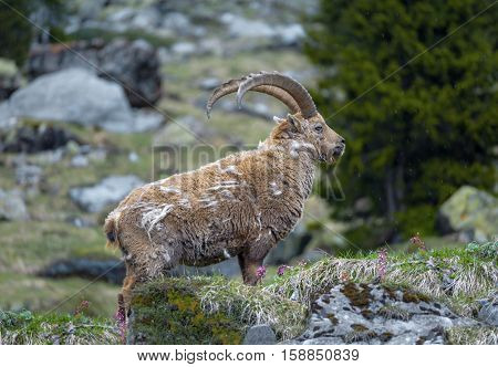 Molting ibex in the wild at Oeschinensee, Bernese Oberland, Switzerland.
