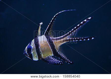 Banggai cardinalfish (Pterapogon kauderni). Marine fish.