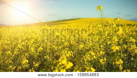 Beautiful mustard field on sunny day