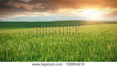 Green beautiful wheat field against cloudy sky